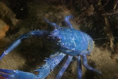 One in a million, a blue squat lobster (Galathea squamifera) - About 1 in a million crustaceans – this genetic defect is known among lobsters, squat lobsters and crabs – have a genetic defect where the (blue) crustacyanin protein twists the astaxanthin molecules making these animals appear blue. These animals are very rare and usually die earlier, because their predators will spot them more easily. Taken in Halverwege, Oosterschelde, Netherlands, 5.4 meters of depth in the tidal zone. #myt