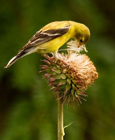 American Goldfinch, adult female breeding, Identification, All About Birds - Cornell Lab of Ornithology Pretty Birds, Beautiful Birds, Squirrel Proof Bird Feeders, Thistle Seed, Bird Identification, State Birds, Backyard Birds, Wild Birds, Birds 2