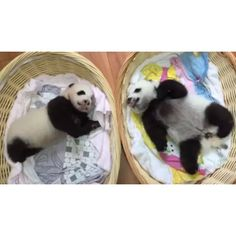 Video by @amivitale #onassignment in China for @natgeo. Why do you love pandas? I know they are ridiculously cute, but is there something else that makes people melt when they see a panda?