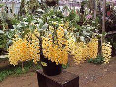 Dendrobium thyrsiflorum | Clelia Costa | Flickr