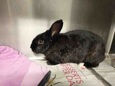 URGENT!!! JAZZY is an adoptable Bunny Rabbit searching for a forever family near Los Angeles, CA. ** Rabbit • Bunny Rabbit • Adult • Female • Medium  City of Los Angeles South LA Animal Shelter Los Angeles, CA