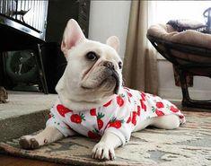 Soooo sweet, French Bulldog in Jammies