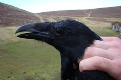 wish I could pet a raven
