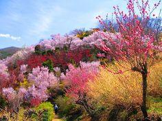 花見山Japan