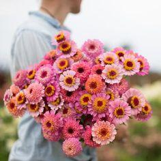 Zinnia Cupcake Pink by Floret Flower Farm Summer Flowers, Cut Flowers, Pink Flowers, Beautiful Flowers, Gerbera Daisies, Dahlias, Cut Flower Garden, Flower Farm, My Flower