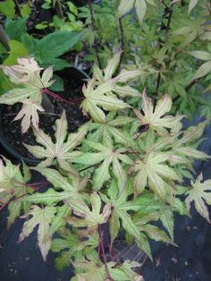 LOVE THIS! amber ghost japanese maple