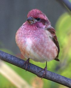 Male Purple Finch by robberfly12, via Flickr