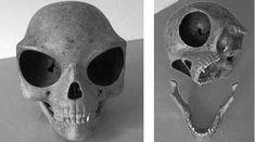 El polémico Cráneo de Sealand todavía plantea muchos interrogantes. ¿Será de origen extraterrestre?