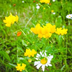 Birdsfoot Trefoil(Lotur corniculatus) #birdsfoottrefoil #loturcorniculatus #wildflowers #flowers #nature