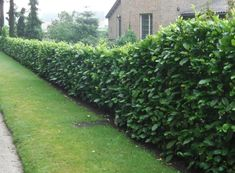 10 Fast Growing Hedges For Privacy – Gardeners' Guide Privacy Hedges Fast Growing, Fast Growing Hedge Plants, Fast Growing Evergreens, Best Trees For Privacy, Shrubs For Privacy, Bushes And Shrubs, Privacy Trees, Hedges Landscaping, Garden Hedges