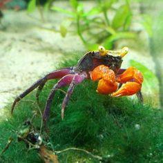 #fish #aquarium  #instafish #instagood  #water  #photooftheday  #beautiful #best #nature #cool #handmade #design #crab #flower #flowers #usa #europe #ukraine #kherson #style #instalife #природа #красота #растения #цветы #рыбки #аквариум #украина #дизайн #roman_skat