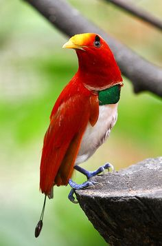 King Bird-of-Paradise (Male) - Genetic analysis has shown that birds of paradise belong to the crows & jays avian family. The Paradisaeidae's spectacular array of form & color evolved over the past 20 million years.
