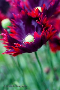 Poppy 'Burgundy Frills'