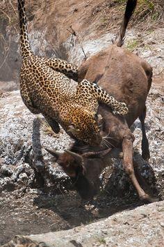 Leopard jumping on a young wildebeest, Maasai Mara, Kenya