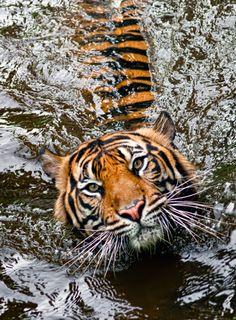 beautiful-wildlife:  TigerbyRobert Aganis