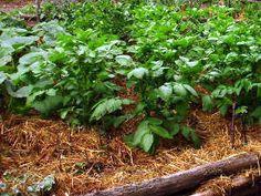 Cultivar patatas sin tierra 2