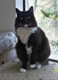 ADOPTED!!! Meet Stanley, a Petfinder adoptable Domestic Medium Hair-black and white Cat | Thousand Oaks, CA | Stanley is a gorgeous tuxedo, with a beautiful white ruffle. All the other cats love him, he is a...