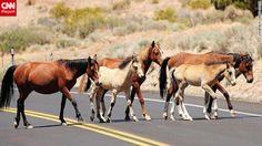 wild horses BLM hasn't captured yet, near Reno, Nevada