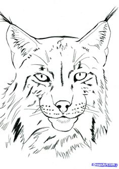 how to draw a realistic lynx step 11