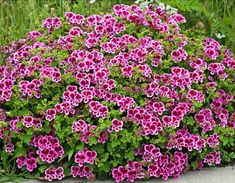 Specializing in rare and unusual annual and perennial plants, including cottage garden heirlooms and hard to find California native wildflowers. Love Flowers, White Flowers, Beautiful Flowers, Garden Spaces, Garden Plants, Scented Geranium, Annual Plants, Carnations, Houseplants