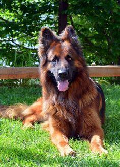 Beautiful black and red German shepherd!