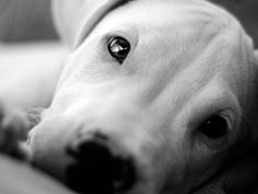 Dogo beautiful eye