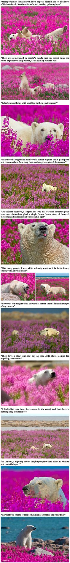 We rarely see polar bears outside of a snowy Arctic environment, but these bears are no strangers to having fun in the summer! In a rare series of images by Canadian photographer Dennis Fast, these white giants are seen frolicking in a field of fireweed. The photos were taken in Northern Canada's Hudson Bay, near lodges run by Churchill Wild in Manitoba.