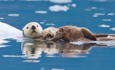 Heaven on ice. Thanks to Roman Golbenko for this great photo of mom and baby otter cuddling -- National Geographic Your Shot