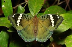 Female Green Duke (Euthalia sahadeva, Limenitidinae, Nymphalidae)