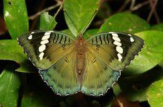 Female Green Duke (Euthalia sahadeva, Limenitidinae, Nymphalidae)