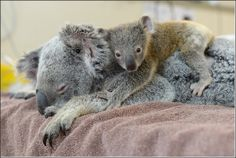 This is Phantom the koala joey cuddling his mum Lizzy during her recent treatment at the Australia Zoo Wildlife Hospital. These two were brought in after being hit by a car west of Brisbane, and while. Baby Zoo, Baby Koala, Baby Otters, Mom Baby, Animal Pictures, Cute Pictures, Baby Animals, Cute Animals, Baby Giraffes