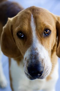 American Foxhounds...looks a lot like our Jenna