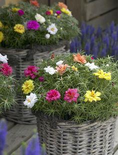 Portulaca Grandiflora, Portulaca Flowers, Planting Flowers, Beautiful Rose Flowers, Love Flowers, Ice Plant, Margarita, Flower Pots, Beautiful Places