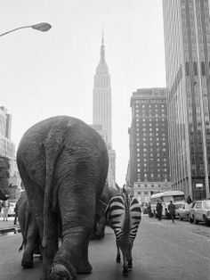 and the City: New York, Circus Animals on Street, New York. Circus in the city.Circus Animals on Street, New York. Circus in the city. Black White Photos, Black And White Photography, New York Street, New York City, Vintage Photography, Street Photography, Photography Composition, Photography Women, Old Photos
