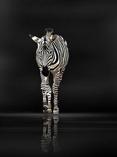 'Zebra' von Christine  Ellger