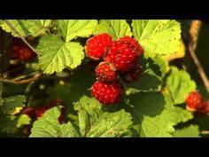 How to Plant Raspberries | P. Allen Smith Classics