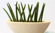 sansevieria cylindrica - Google Search