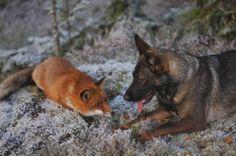 El Zorro y el Sabueso (o cuando la naturaleza imita a Disney) En estas fotografías podemos ver la amistad que ha surgido entre un zorro roj...