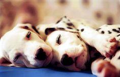 i love dalmatians | two dalmata | I love dalmatian