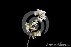 Shiny white cherry blossom branch at black background