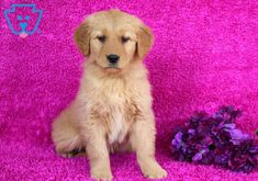 Best dogs and puppies for sale golden retrievers Ideas Puppies For Sale, Cute Puppies, Cute Dogs, Dogs And Puppies, Baby Puppies, Dog Wallpaper Iphone, Golden Retriever Training, Dog Quotes Love, Dog Rates