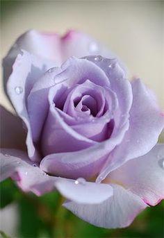 Flor lilás                                                                                                                                                                                 Mais