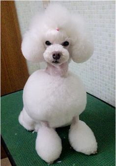 ❤opawz.com white poodle * This photo is not from OPAWZ, this image was pinned for sharing purpose only!*