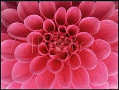 Decorative Posters Dahlia Flower Quotes Art Custom Poster 20x30 Inch -- Awesome products selected by Anna Churchill