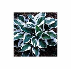 Patriot<br>HOSTA OF THE YEAR 1997