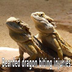 Bearded dragon bite injuries