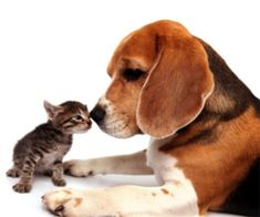 Beagle & Kitten face off