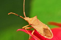 7 Natural Ways To Get Rid Of Squash Bugs – Springtime Cottage Cleaning With Hydrogen Peroxide, Borax Cleaning, Diy Home Cleaning, Bathroom Cleaning Hacks, Household Cleaning Tips, Deep Cleaning Tips, Cleaning Recipes, House Cleaning Tips, Natural Cleaning Products