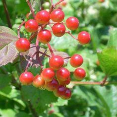 Seeds for American Cranberrybush - (Viburnum trilobum) – Amkha Seed Cherry Seeds, Raspberry Seeds, Organic Horticulture, Organic Gardening, Highbush Cranberry, Low Growing Ground Cover, Giant Sunflower, Plant Labels, Border Plants