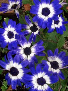 Pericallis-Blue Flowers for my garden